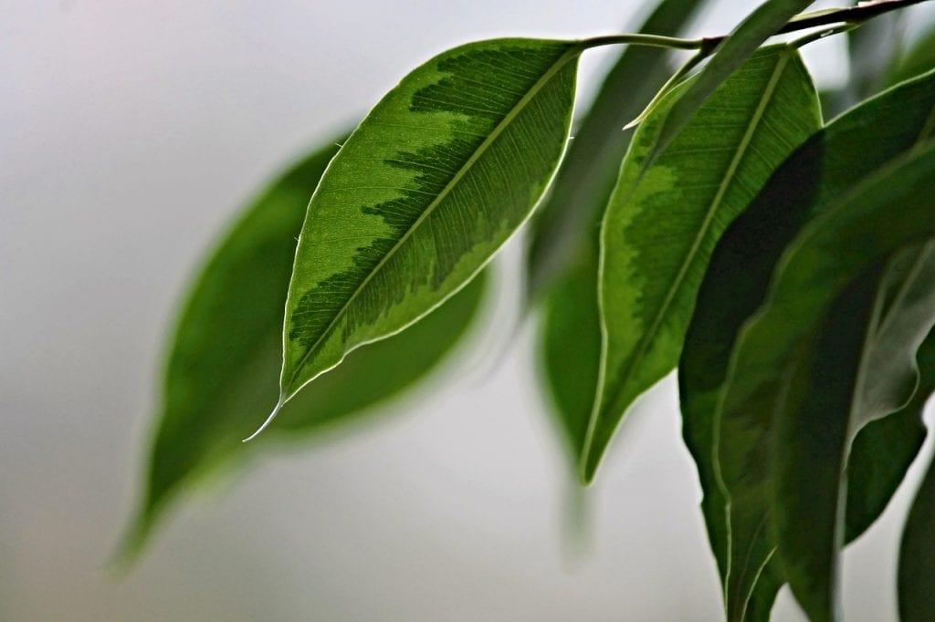 rostlina-fikus